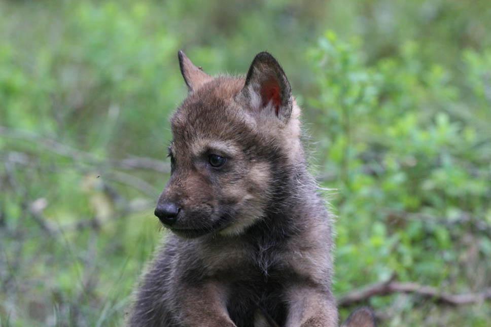 santuario-lobos