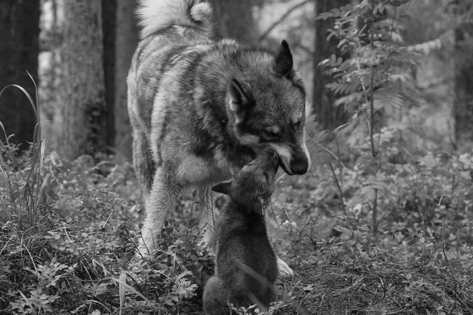 santuario-lobos5