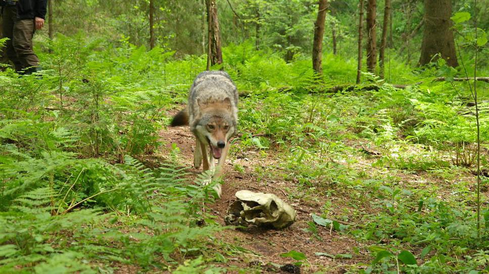 santuario-lobos6