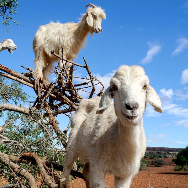Cabras que escalam árvores fascinam viajantes no Marrocos