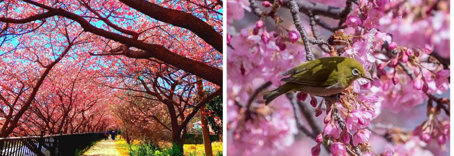 Cerejeiras invadiram esta cidade japonesa e as fotos são de tirar o fôlego